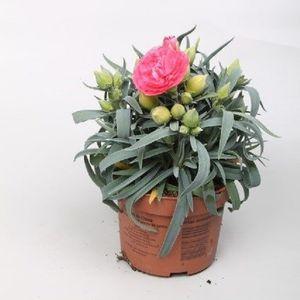 Dianthus FLOW MIAMI BEACH