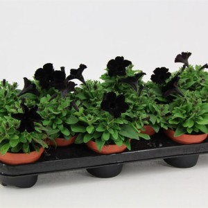 Petunia MYSTICAL BLACK VELVET (Van der Valk bv)