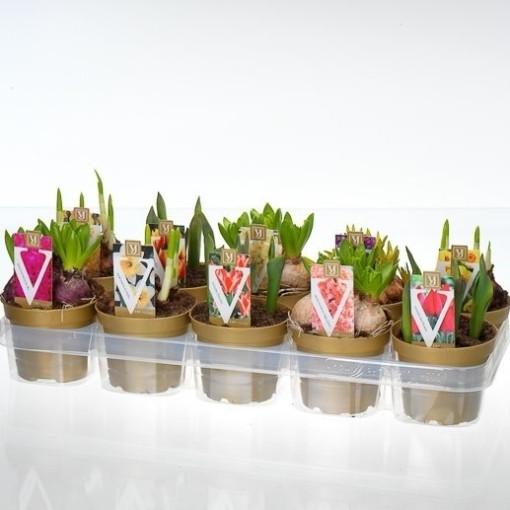 Bulbous plants MIX (J.H van der Vossen B.V.)