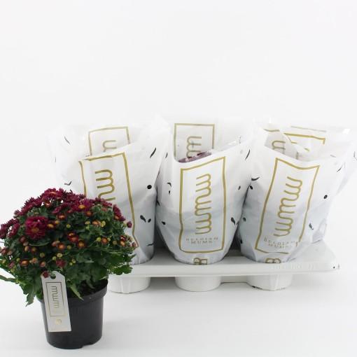 Chrysanthemum AMARENA PURPLE (Kwekerij Baas)