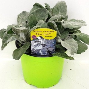 Senecio cineraria 'New Look' (Experts in Green)