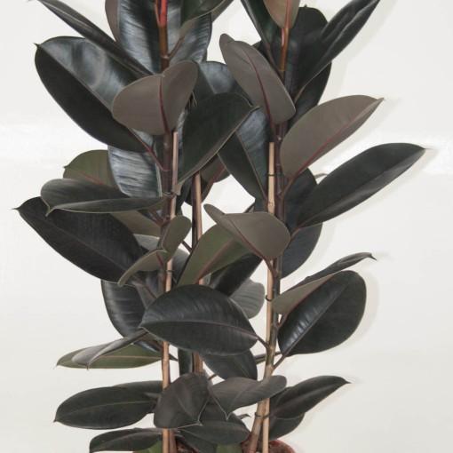 Ficus elastica 'Abidjan' (Ammerlaan, The Green Innovater)