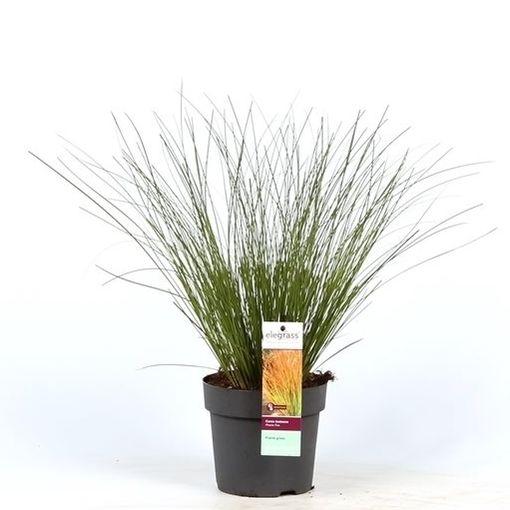 Carex testacea PRAIRIE FIRE COLORGRASS (Hoogeveen Plants)