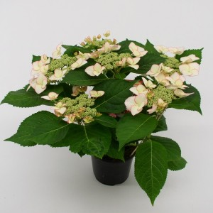 Hydrangea macrophylla HOVARIA LOVE YOU KISS