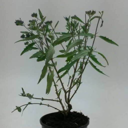 Caryopteris x clandonensis 'Heavenly Blue' (WTM de Boer)