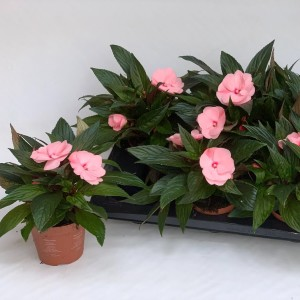 Impatiens TAMARINDA LIGHT PINK