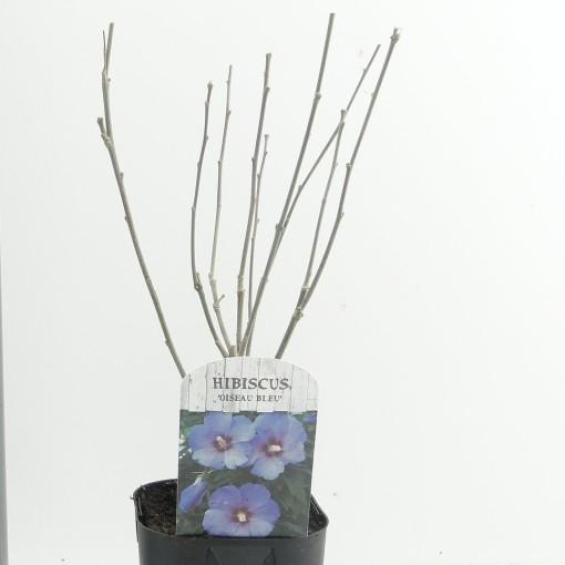 Hibiscus syriacus 'Oiseau Bleu' (Hooftman boomkwekerij)