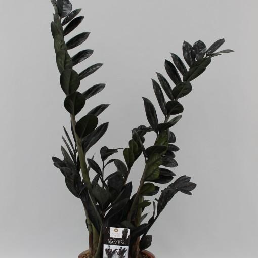 Zamioculcas zamiifolia RAVEN (Winden Erica, Kwekerij van)