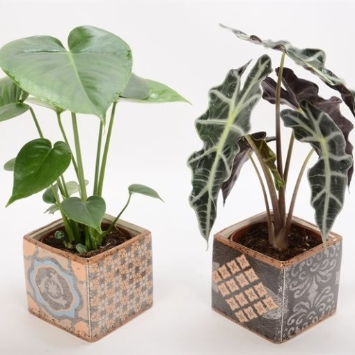 Houseplants MIX (Bunnik Plants)
