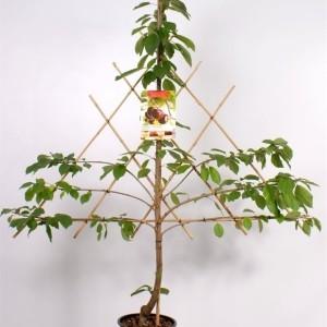 Prunus avium HEDELFINGER (Fruithof)