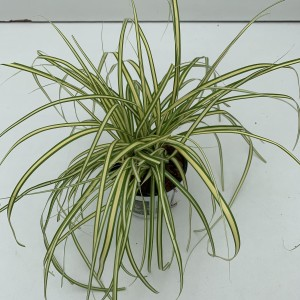 Carex oshimensis 'Evergold' (Cammeraat Potcultuur)