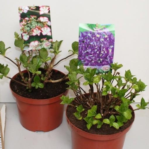 Hydrangea macrophylla HOVARIA MIX (De Jong Plant BV)