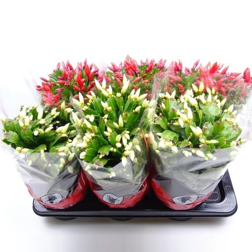 Schlumbergera MIX (Vries Potplantencultures BV, J. de)