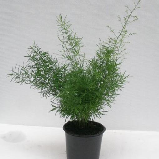 Asparagus densiflorus 'Sprengeri' (Gasa DK)