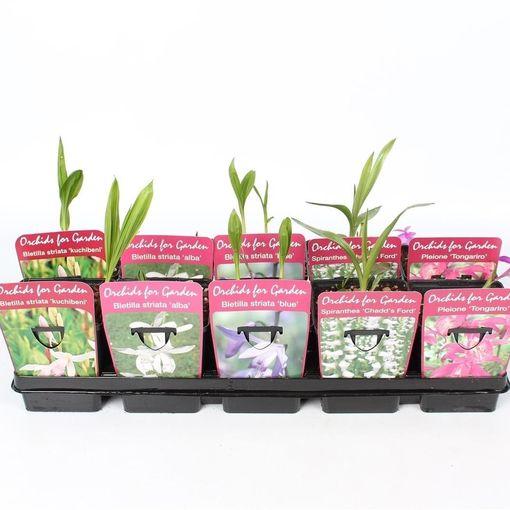 Orchids GARDEN MIX (Lansbergen Orchids)