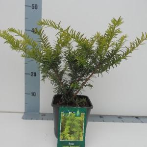 Taxus baccata 'Summergold' (De Koekoek Potcultures)