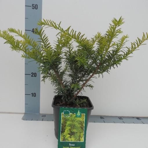Taxus baccata 'Summergold' (Koekoek Potcultures, de)