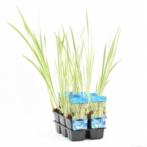 Acorus calamus 'Variegatus' (Moerings Waterplanten)