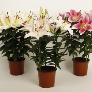 Lilium ORIENTAL HYBRID MIX (Wetering Potlilium)