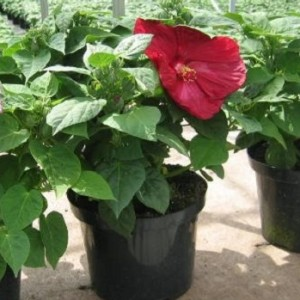 Hibiscus moscheutos LUNA RED