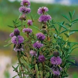 Mentha cervina (Moerings Waterplanten)