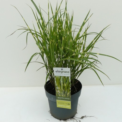 Miscanthus sinensis 'Strictus' (Experts in Green)