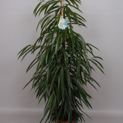 Ficus binnendijkii 'Alii' (Peeters Potplanten)