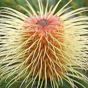 Banksia pulchella