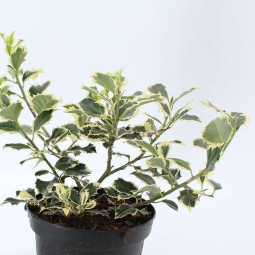 Ilex aquifolium 'Argentea Marginata' (About Plants Zundert BV)