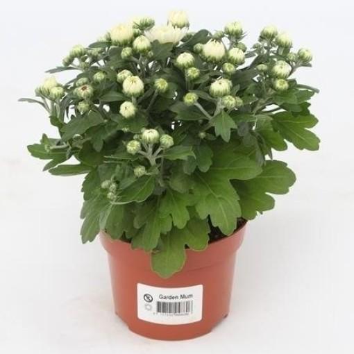 Chrysanthemum GARDENMUMSAIC WHITE (Gebr. Grootscholten)