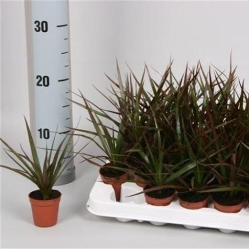 Dracaena marginata 'Magenta' (van der Velden, Hkw.)