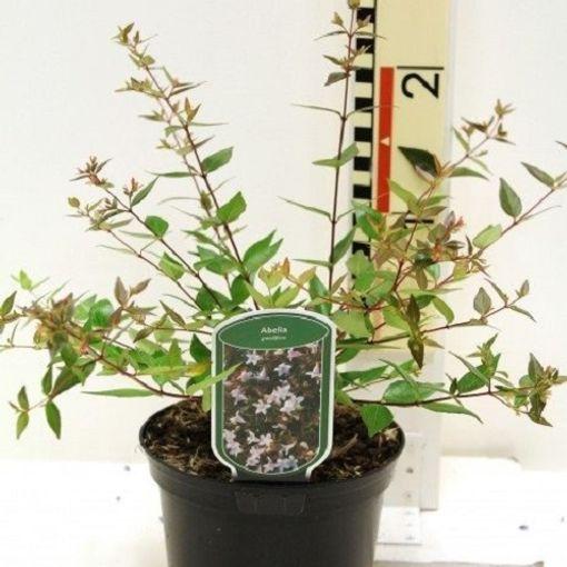 Abelia x grandiflora (CPB Sales)