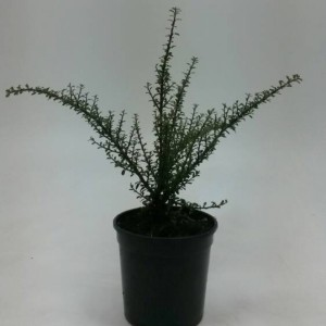Cotoneaster microphyllus 'Tanja'