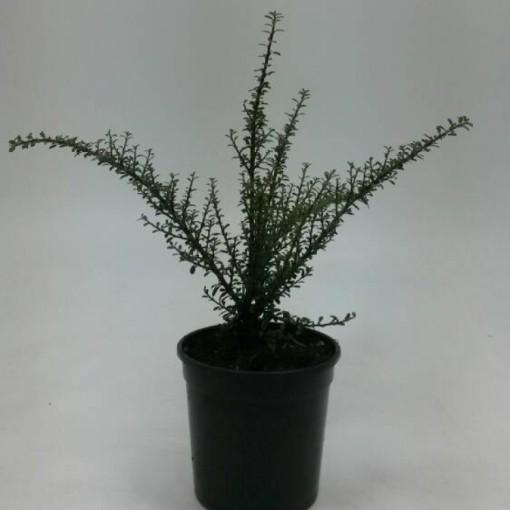 Cotoneaster microphyllus 'Tanja' (WTM de Boer)