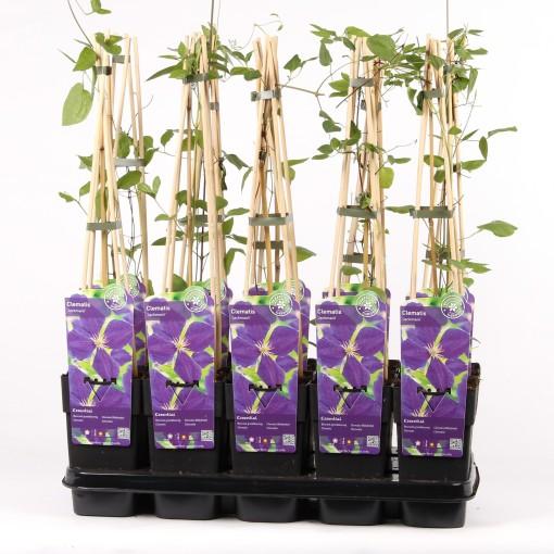 Clematis jackmanii (Hoogeveen Plants)