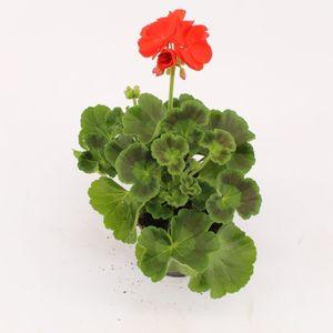 Pelargonium FERNANDO
