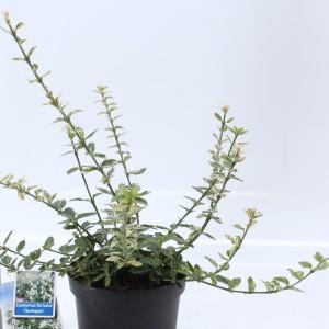 Euonymus fortunei 'Harlequin' (About Plants Zundert BV)