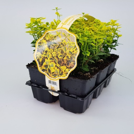 Euonymus fortunei 'Emerald 'n' Gold' (Sneijers Boomkwekerij)