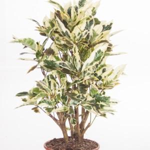 Codiaeum variegatum 'Tamara' (Ammerlaan, The Green Innovater)