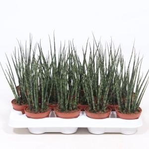 Sansevieria bacularis 'Fernwood Mikado'