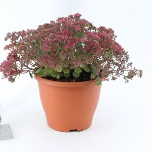 Sedum 'Vera Jameson' (About Plants Zundert BV)