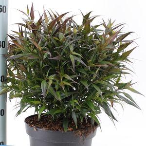 Strobilanthes anisophylla BRUNETTHY (About Plants Zundert BV)