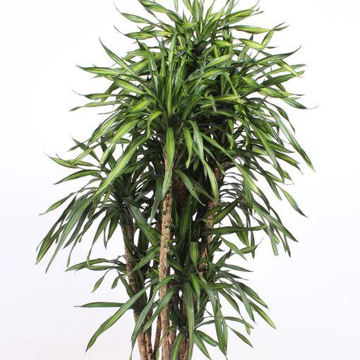 Dracaena fragrans RIKI (Fachjan)