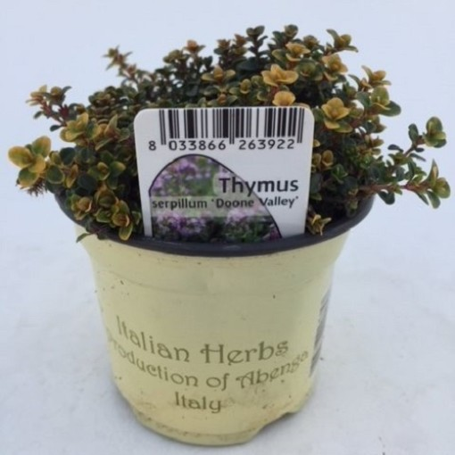 Thymus 'Doone Valley' (Green Collect Sales)
