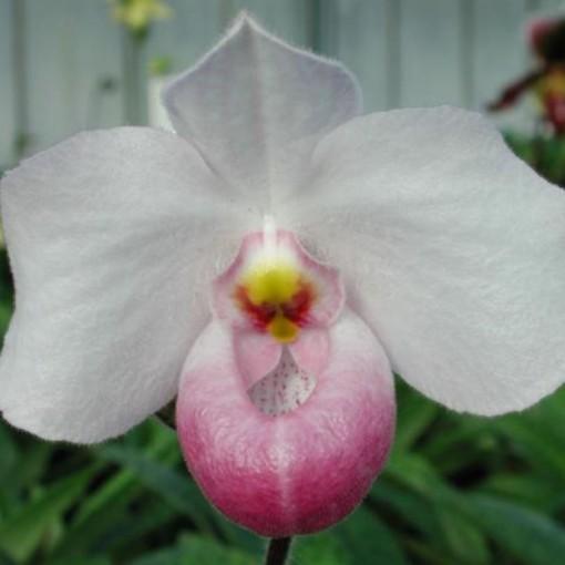 Paphiopedilum delenatii (Wichmann Orchideen e.K.)