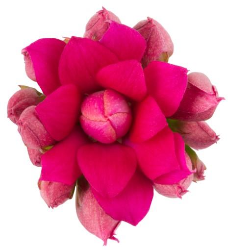 Kalanchoe blossfeldiana ROSE FLOWERS ALICIA (Queen - Knud Jepsen a/s)