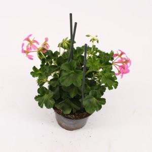 Pelargonium 'Decora Lila'