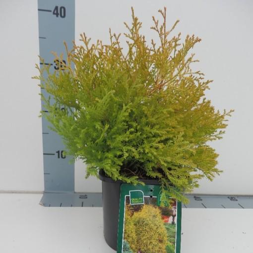 Thuja occidentalis 'Rheingold' (Koekoek Potcultures, de)