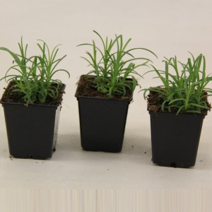 Dianthus barbatus MIX (Valk bv, van der)
