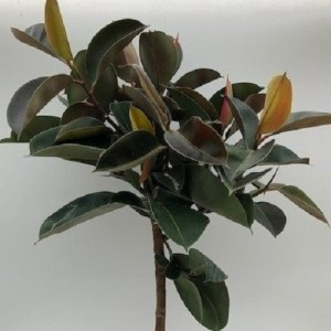 Ficus elastica 'Robusta' (Green Collect Sales)